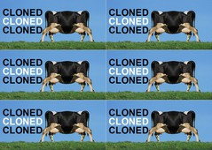 clone cow for upgrade-6.jpg